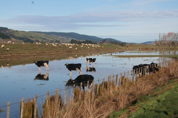 Flooded Cows