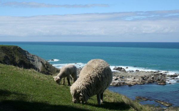 Kaikoura Sheep