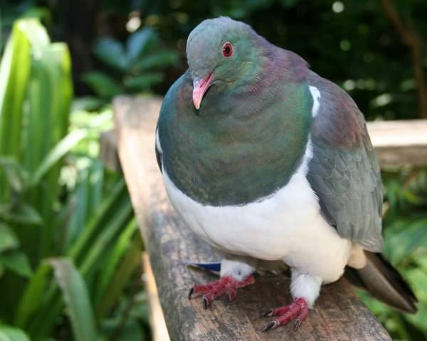 New Zealand Wood Pidgeon